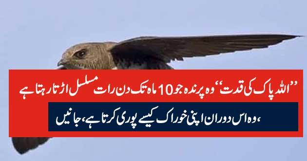 ''اللہ پاک کی قدت'' وہ پرندہ جو 10ماہ تک دن رات مسلسل اڑتا رہتا ہے ، وہ اس دوران اپنی خوراک کیسے پوری کرتا ہے ، جانیں