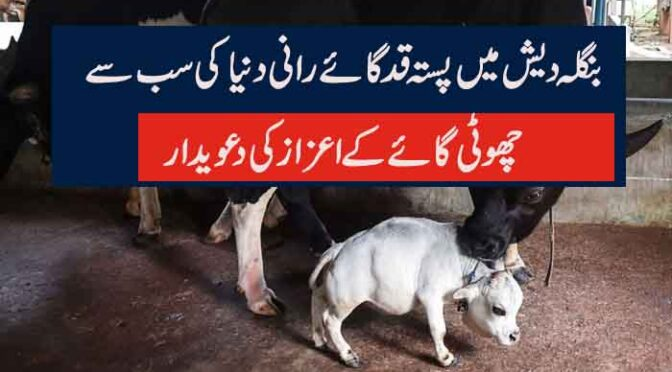 بنگلہ دیش میں پستہ قد گائے رانی دنیا کی سب سے  چھوٹی گائے کے اعزاز کی دعویدار