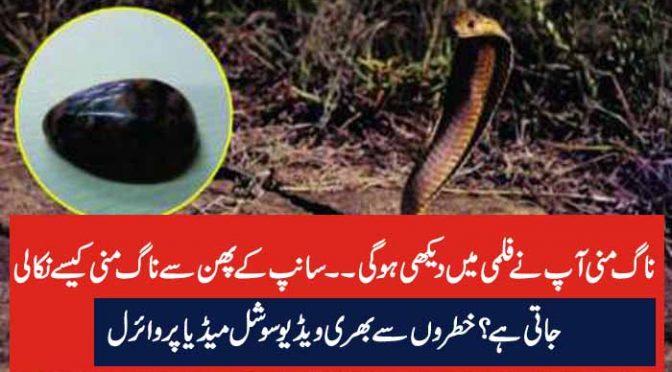 ناگ منی آپ نے فلمی میں دیکھی ہوگی۔۔سانپ کے پھن سے ناگ منی کیسے نکالی جاتی ہے ؟ خطروں سے بھری ویڈیو سوشل میڈیا پر وائرل